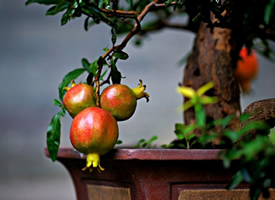 一组挂在树上超新鲜的石榴