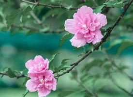 雨后清新养眼的木槿花