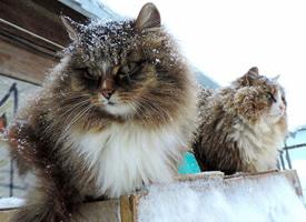 酷酷的西伯利亚猫图片
