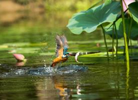 荷塘里觅食的翠鸟图片
