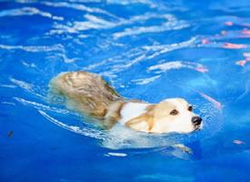 一组正在游泳的柯基狗狗图片