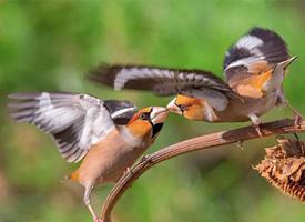一组珍珠鸟求偶图片