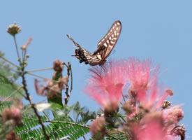 入秋后的合欢上的蝴蝶