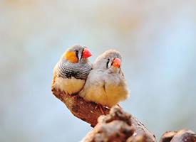 成双成对的珍珠鸟图片