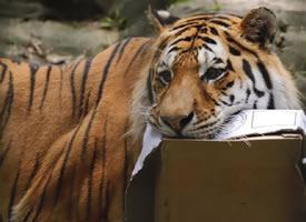 美丽又憨傻的老虎图片