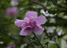 一组唯美的微雨木槿花图片