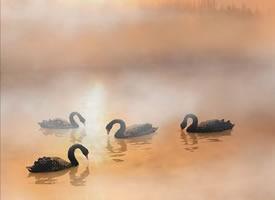 一组仙气飘飘的天鹅游水