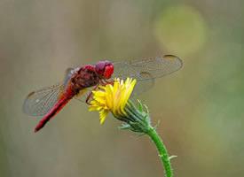 一组停留在花草上的蜻蜓