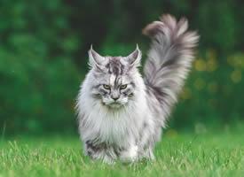 机灵聪慧的缅因猫图片