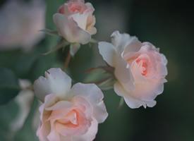 唯美蔷薇花图片桌面壁纸