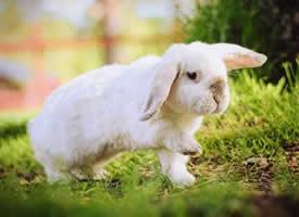 一组耳朵趴下来的小兔几