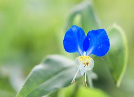 小清新蓝色小花图片桌面壁纸