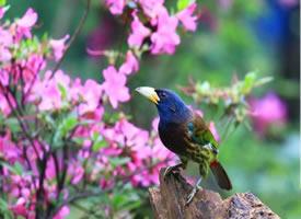 大拟啄木鸟益鸟图片