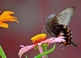一组美丽的金凤蝶、玉带凤蝶