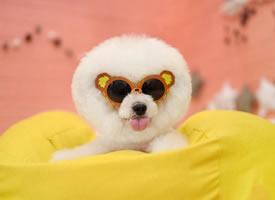 一组超可爱的爆炸头博美狗狗