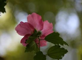 一组陶然亭木槿花图片欣赏