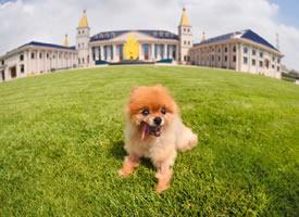 一组橘色超可爱的博美狗狗