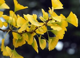 秋天唯美银杏叶图片桌面壁纸