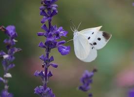 又见蝴蝶,美丽的凤尾蝶