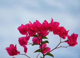 北京世界花卉大观园~三角梅