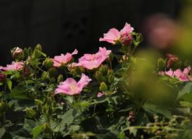 一组粉色漂亮的木芙蓉图片