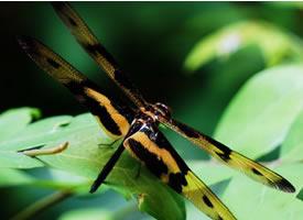 一组黄黑色的蜻蜓图片