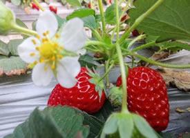 一股阳光味道的草莓图片