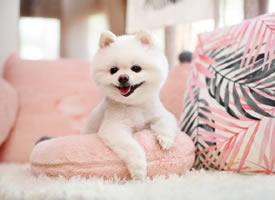 乖乖白白的小可爱博美狗狗