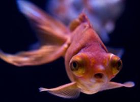 喜庆好看的金鱼图片