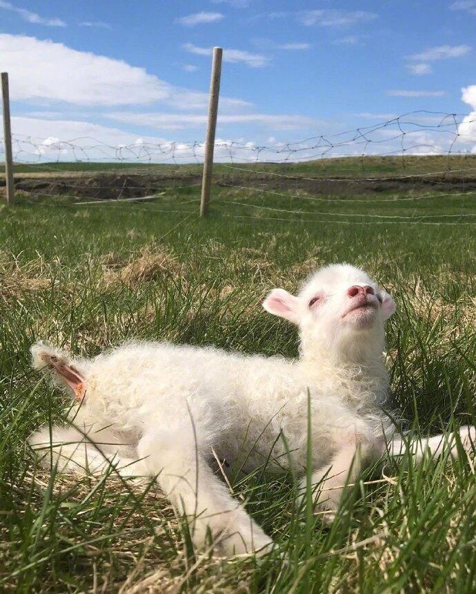 一组草地里活跃的小绵羊