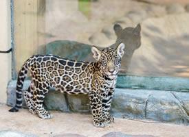 奶凶奶凶的幼年美洲豹