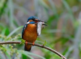 捕鱼成功的翠鸟图片