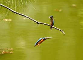 两只在河边捕鱼的小翠鸟图片