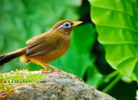 棕色的画眉鸟高清摄影图片