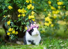 带花环超可爱的黑白色小兔兔