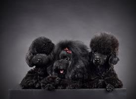 黑色背景下可爱泰迪狗狗