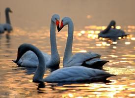 一组形态优美的天鹅图片