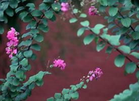 一组风情万种的雨后紫薇