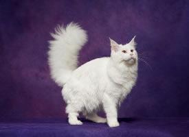 一组紫色背景下的缅因猫图片