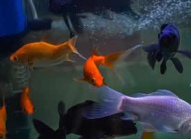一组美妙好看的金鱼图片