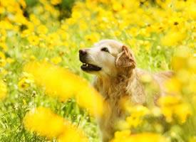 一组超可爱的金毛狗狗图片