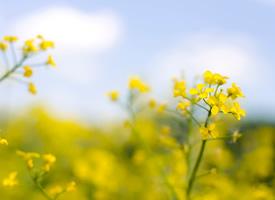 油菜花唯美风景图片桌面壁纸