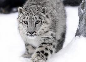旭山动物园里的雪豹母子