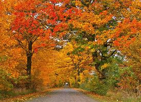 深秋金黄的树林图片
