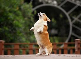 一组超开心的柯基狗狗图片