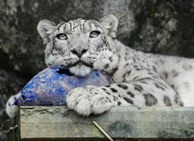 一组玩球的可爱小雪豹图片