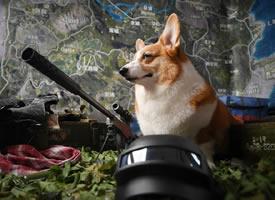 一组超级帅的柯基狗狗图片