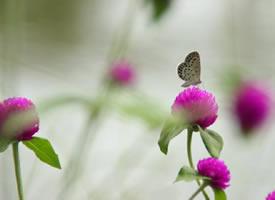 花朵上超唯美的小蝴蝶图片