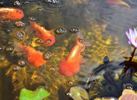 各种各样的金鱼图片