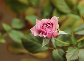 一组粉色唯美的蔷薇花图片欣赏